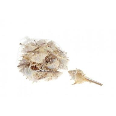 Caracoles de Mar Muricidae