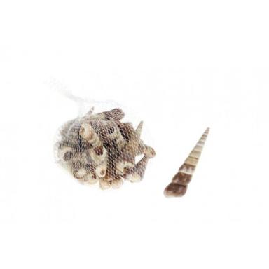Caracoles de Mar Turritellidae (6u)