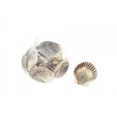 Conchas de Mar Grande Pectinidae (6u)